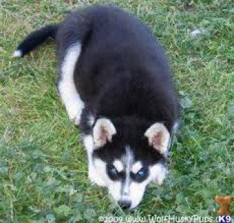 كلب اسكيمو