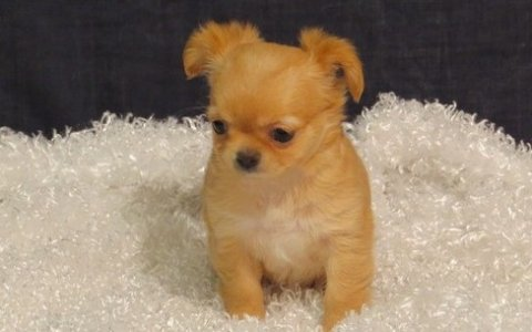 Chihuahua puppies for Adoption