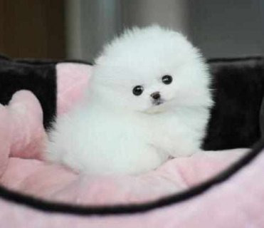 Dorable and Healthy Male And Female Tiny teacup Pomeranian pu