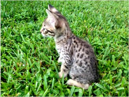 Adorable F3 SAVANNAH KITTENS
