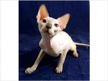 صور Sphynx Kittens For Sale 1