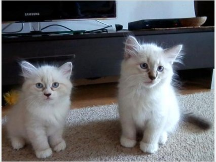 Adorable Pedigree Siberian kittens available
