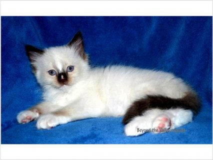 Awesome TICA Ragdoll kittens Ready for you