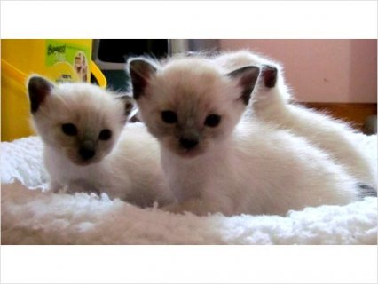 Siamese kittens in For Adoption