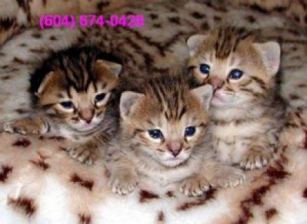 صور 3 LOVELY BENGAL KITTENS FOR ADOPTION 1