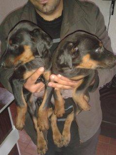 كلاب دوبرمان للبيع