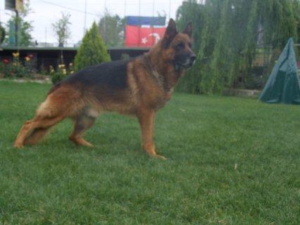 كلاب روت وايلر و كلاب جيرمن شيبرد