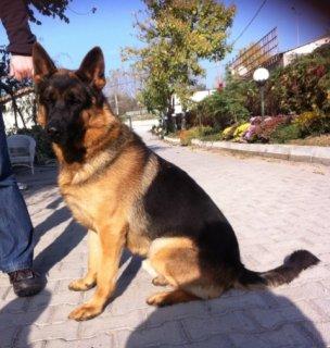 كلب جيرمن شيبرد للبيع بيور عالي