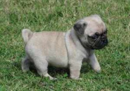 Excellent Male And Female Pug Puppies For Sale Now Ready To G