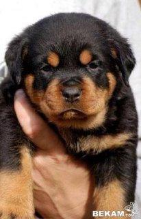 كلب روت وايلر اصلي الماني