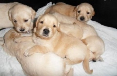 Quality Golden Retriever Puppies for adoption