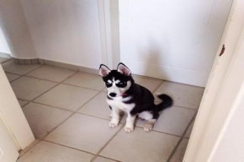 Husky puppy for free