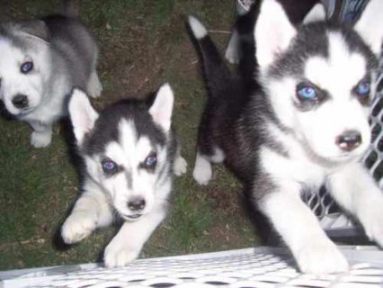 Males and Females Husky puppies available for Adoption