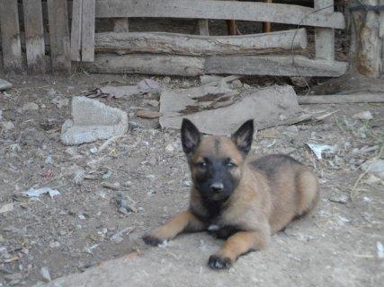 كلب مالينو