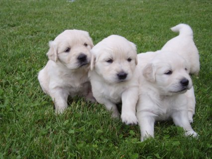Purebred Golden Retrievers puppies for sale males and females