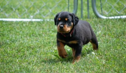 Gorgeous, healthy German Rottweiler puppies.