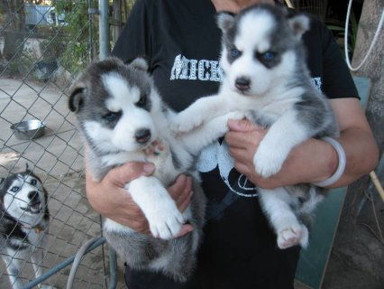 CUTE BLUE EYES SIBERIAN HUSKY PUPPIES READY FOR ADOPTION.