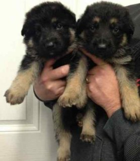 Gorgeous German Shepherd puppies for adoption