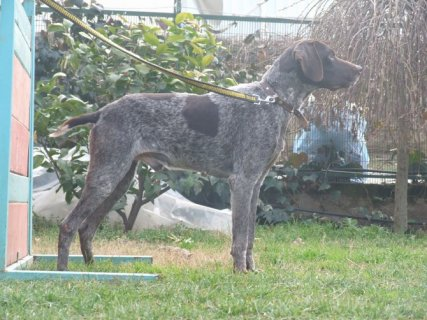 كلب بوينتر الالماني