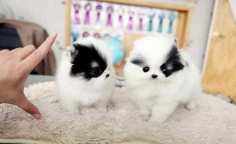 Precious Micro Teacup Poms for good rehoming
