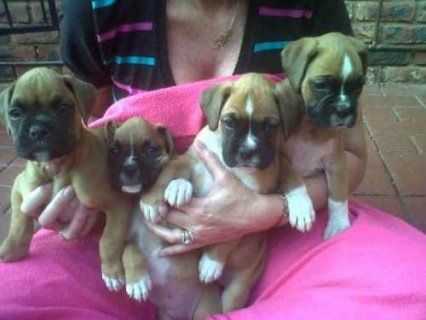 صور Nice Looking Boxer Puppies For Adoption 1
