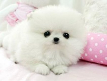 Cutest Pomeranian Puppies for Sale