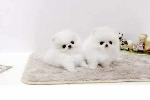 Super Tiny Teacup AKC Toy Pomeranian Puppies for Adoption!?