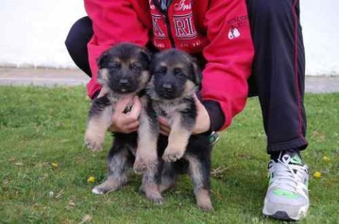 صور German Shepherd puppies We are proud to advertise two 1