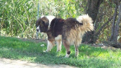 كلاب قفقازي