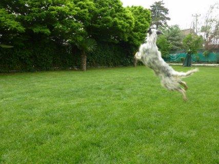 كلب الستر الانجليزي