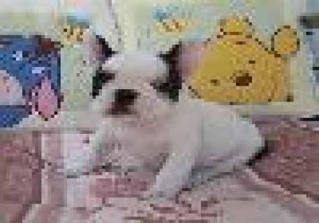 Cute and Adorable French Bulldog Puppies for Sale