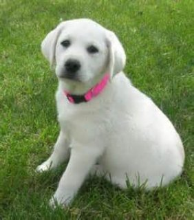 labrador puppies for adoption and also for x-mas just for you