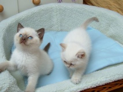 صور Beautiful Pedigree Ragdoll Kittens<> 1