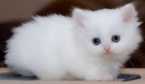 Gorgeous Himalayan Persian Kittens