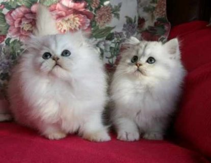 صور Adorable chinchilli persian kittens 1