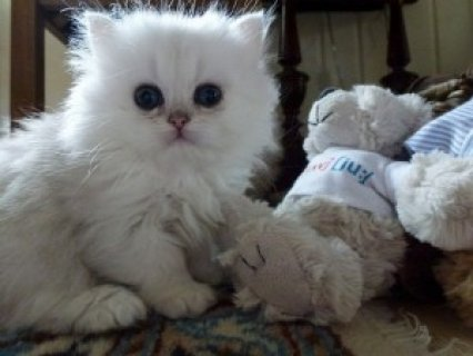 Cute Persian Kittens Available for adoption in ,,..