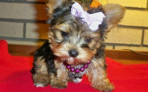 teacup yorkie puppy for adoption