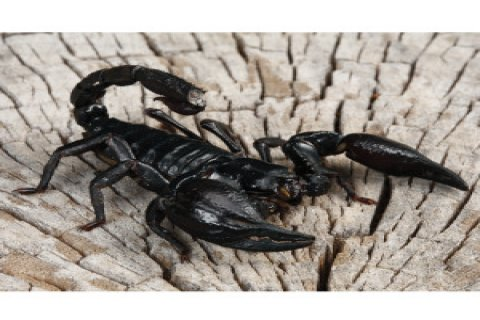 male and female Asian Forest Scorpions
