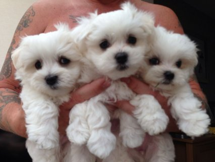 Maltese male and female Puppies for Adoption