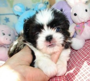 Female Shih Tzu puppy is now available for adoption