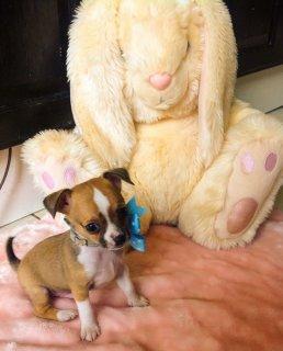 Adorable Miniature Chorky Boy Puppy