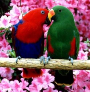 Eclectus red sided babies!