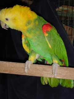 cute Double Yellow Head Amazon Parrots For Sale.