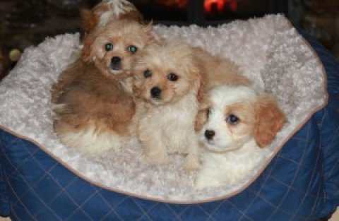 Beautifull Cavachon Puppies