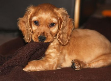 Cocker Spaniel Puppies for Adoption