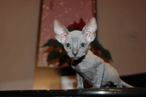 Registered male and female Sphynx Kittens