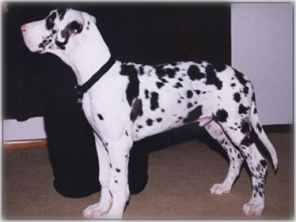 Cute Great dane puppies for your home