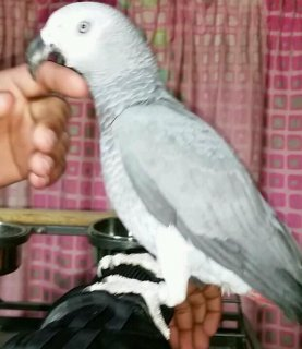 Adorable African Grey parrots for Adoption