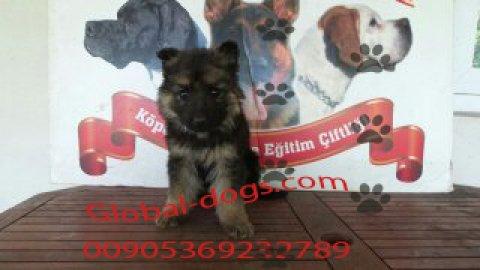 كلب جيرمن الماني للبيع