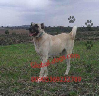 كلب كنغال عملاق  للبيع
